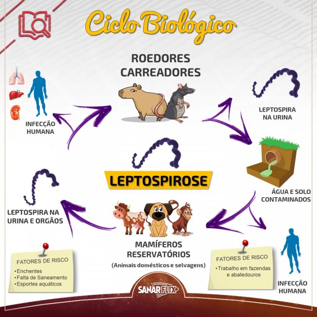 Ciclo Biologico da Leptospirose - Sanar Medicina