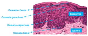 Imagem sobre as camadas da pele: córnea, granulosa, espinhosa e basal.