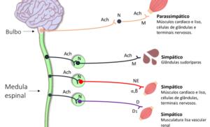 Imagem ilustrativa e explicativa sobre as diferenças anatômicas entre os sistemas nervosos parassimpático, simpático e somático.