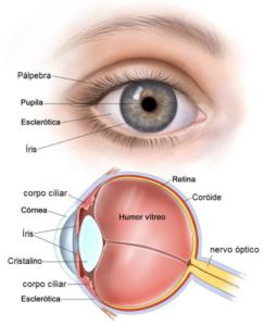 Imagem ilustrativa da Anatomia ocular.