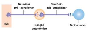 Imagem ilustrativa que mostra As vias autonômicas consistem em dois neurônios que fazem sinapse em um gânglio autonômico.