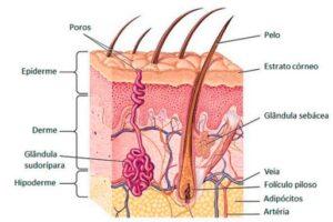 Imagem ilustrativa da Anatomia da epiderme.