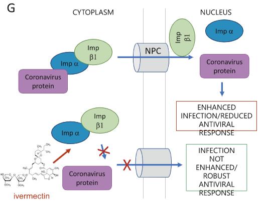 Mecanismo de ação in vitro da ivermectina contra a covid-19 - Sanar