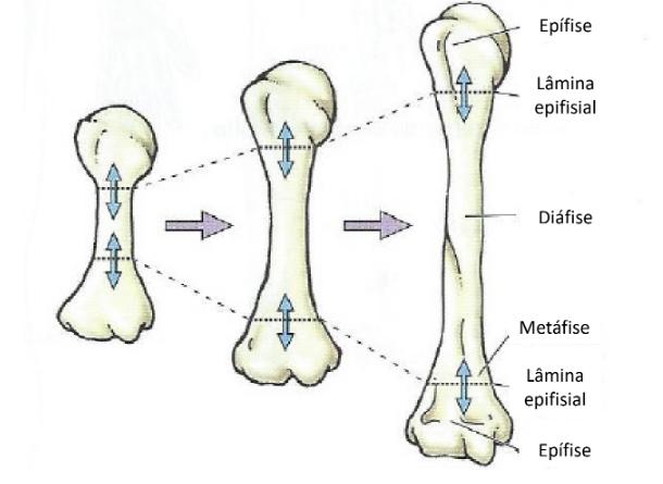 Fonte: Adaptado de Anatomia Orientada para a Clínica, 6a Ed., 2013)