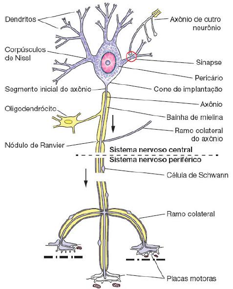 Anatomia dos neurônios