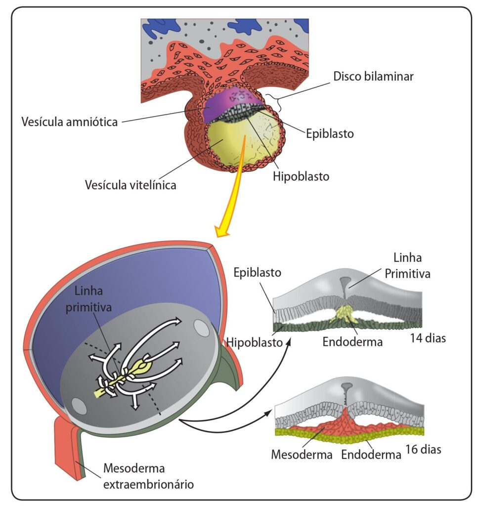 Movimentos celulares durante a gastrulação