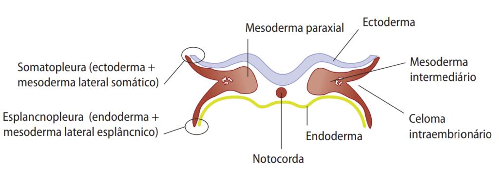 Representação esquemática do disco tridérmico, destacando a organização dos folhetos embrionários e a notocorda